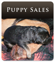 German Shepherd Puppy Sales