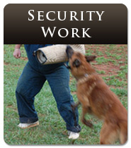 German Shepherd Security Work