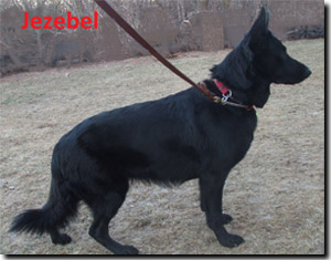 Jezebel - German Shepherd